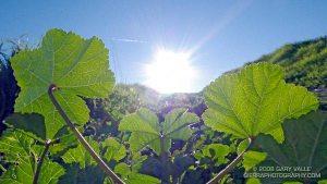 leaves in sun 2
