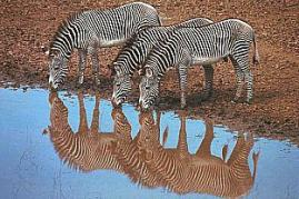 Zebras-Water-Mirror